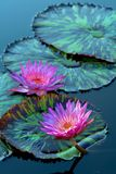 blommar liljavatten Royaltyfria Bilder