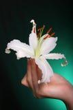 blommar liljawhite Royaltyfri Bild