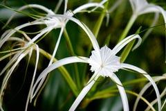 blommar liljawhite Fotografering för Bildbyråer