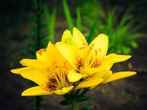 blommar liljayellow Fotografering för Bildbyråer