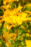 blommar liljayellow Royaltyfri Foto