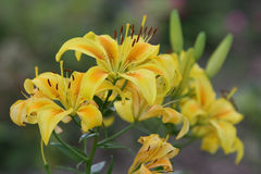 blommar liljayellow Royaltyfri Bild