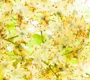 blommar lindenen Royaltyfri Bild