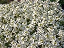 blommar liten white Royaltyfri Bild