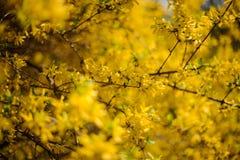 Blommar ljus guling för forsythia att blomma i vår Arkivfoton