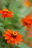 blommar ljust orangen Arkivfoto