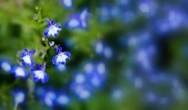 blommar lobelia Arkivfoto