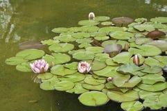 blommar lotusblomma Arkivfoto