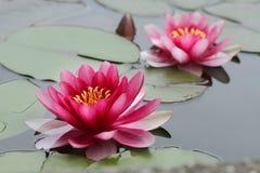 blommar lotusblomma Arkivfoton