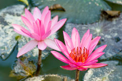 blommar lotusblomma Royaltyfri Bild