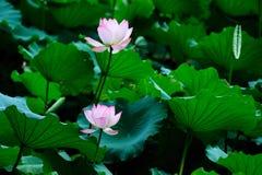 blommar lotusblomma två Arkivfoto