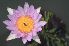 blommar lotusblommapink Arkivfoto