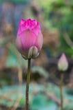 blommar lotusblommapink Arkivbilder