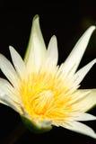 blommar lotusblommawhite Arkivfoton