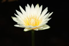 blommar lotusblommawhite Arkivbilder