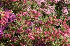 blommar mångfärgat Royaltyfri Foto