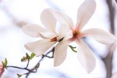 blommar magnolia två Royaltyfri Fotografi