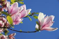 blommar magnoliaen Arkivbilder
