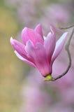 blommar magnoliaen Royaltyfri Foto