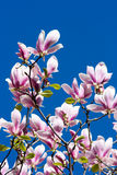 blommar magnoliaen Royaltyfri Bild