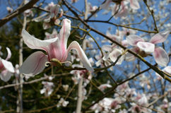 blommar magnoliaen arkivfoto