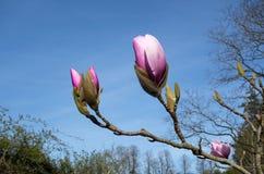 blommar magnoliaen Royaltyfri Fotografi