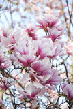 blommar magnoliapink Royaltyfria Bilder