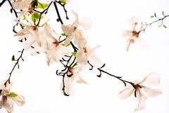 blommar magnoliapink Arkivbild