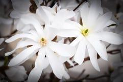 blommar magnoliawhite Royaltyfria Bilder