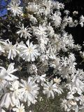 blommar magnoliawhite Royaltyfri Foto