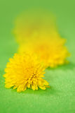 Blommar maskrosen Arkivfoto