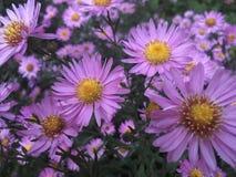 blommar mauve Arkivfoto