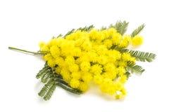 blommar mimosayellow Arkivbild