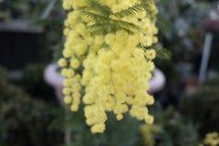 blommar mimosayellow Royaltyfri Foto