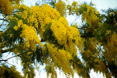 blommar mimosayellow Arkivfoto