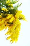 blommar mimosayellow Royaltyfri Fotografi