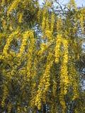 blommar mimosayellow Royaltyfri Bild