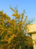 blommar mimosayellow Arkivfoton