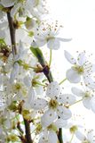 blommar mirabellewhite Royaltyfri Fotografi