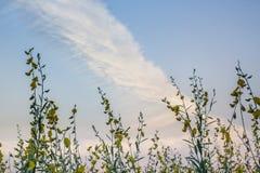 Blommar molnig himmel för cirrusmolnet ovanför fält för guling för solhampa Fotografering för Bildbyråer