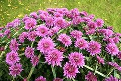 blommar mumen Royaltyfria Foton