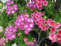 blommar mycket litet Arkivbilder