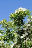 blommar myrten royaltyfri fotografi