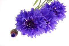 blommar nätt purpur white Royaltyfria Bilder