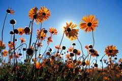 blommar namaqua Fotografering för Bildbyråer