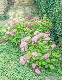 Blommar namnger den rosa busken för vanliga hortensian, vanligt vanliga hortensian eller hortensia Arkivbilder