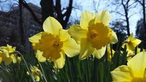 blommar narcis Royaltyfria Bilder