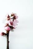 blommar nektariner Royaltyfri Fotografi