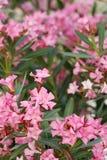 blommar oleanderen Royaltyfri Fotografi