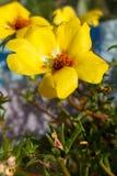 blommar oleraceaportulaca Arkivfoton